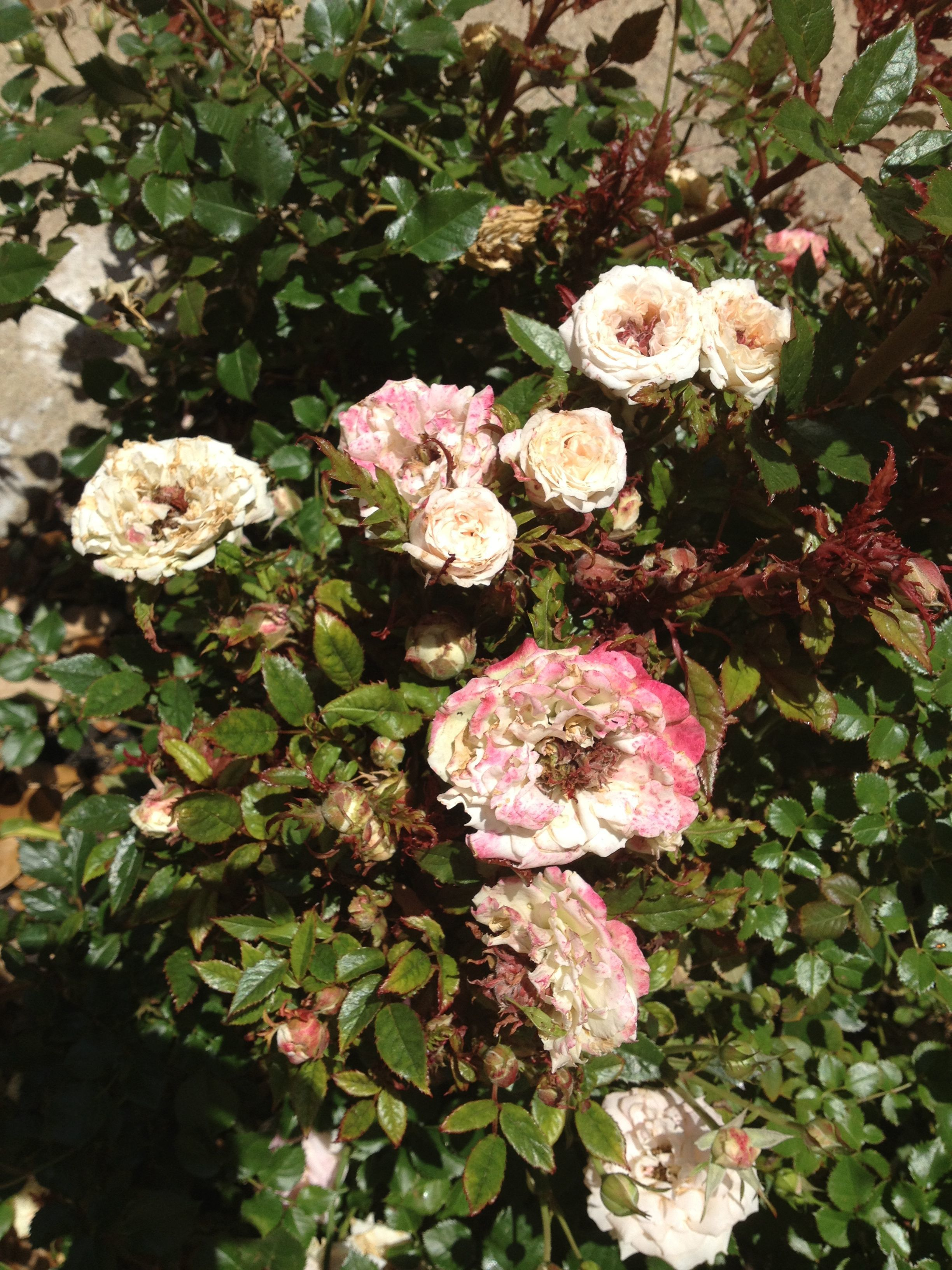 Rose Problem 1